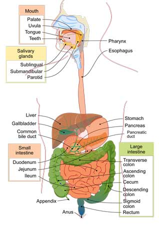 Labeled diagram of the Digestive Tract